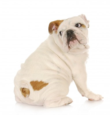 Frightened bulldog 123RF Stock Photo