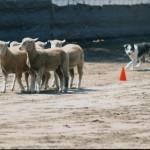 Herding...
