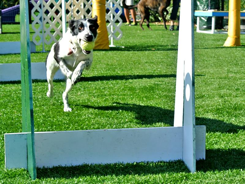 Flyball Training